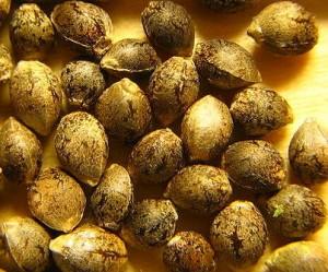 Chènevis (graines de chanvre)