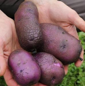 Pommes de terre bleues de l'artois