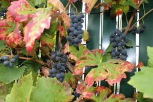 Le raisin est mûr