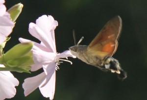 Moro Sphynx sur fleurs de saponaire