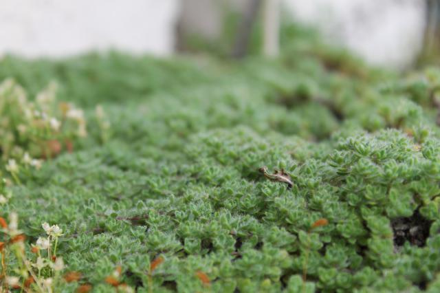 Thym laineux blog tricofolk for Au jardin info