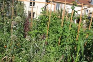 Le potager sans travail du sol, haricots, arroches, tomates et divers légumes anciens