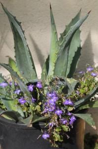 Un lobelia s'est installé avec une agave