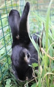 Lapine chèvre noire