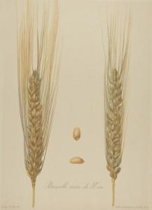 Petanielle noire de Nice (blé ancien), planche Vilmorin 1880