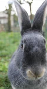 Lapin chèvre bleu