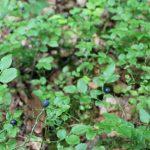 Myrtilles dans la forêt