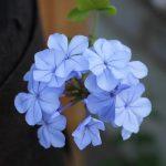 Fleurs de plumbago